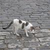 Vedado cat