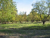 The walnut orchard surrounds the main parking lot on two sides.  There is a picnic area beyond -- one table is visible in the background on the right.  Borges Ranch and Sugarloaf were the two areas in the Open Space chosen for development of facilities.  Sugarloaf also has displays of old farm equipment and an amphitheater.