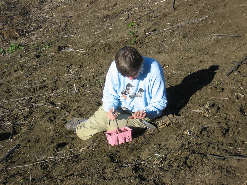 Florence planting Cal sage seedlings from a six pack.