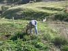 Bill clears a spot for manzanita seeds.
