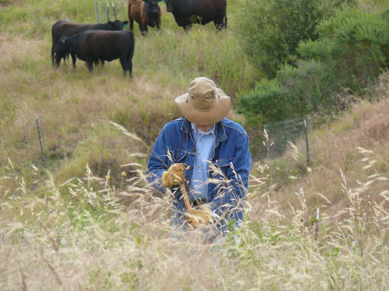 Bill digs up a mustard plant at the edge of last year's native grass patch.