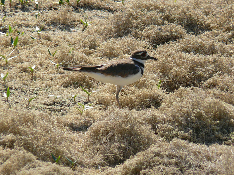 We have seen killdeer at Bayberry since the first winter, although usually on bare dirt rather than dry algae.  Today for the first time there were two killdeer.  Apparently they are courting.