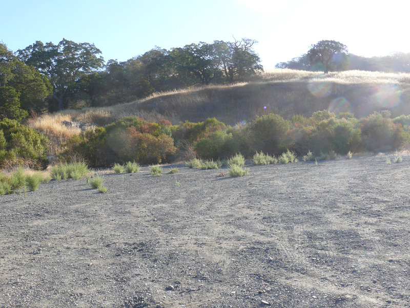 A typical section of the gravel parking lot before we started work -- dittichia around the edge.  We cleared the area immediately around the entrance to the connector trail last year to keep the dittrichia from spreading along it.  Today our goal was to get rid of the rest of it.