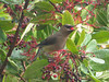 Cedar_Waxwing_with_Toyon_Berry