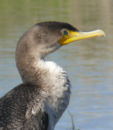 Cormorant Visits Bayberry