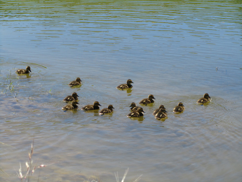 Every year the pond gets closer to being able to support mallards.  This year a mallard couple brought their fourteen chicks after they hatched elsewhere.  Last time we saw them, they were twice as big and there were still twelve of them.
