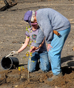 Volunteers plant cottonwood seedlings at Moab Slough following a fire in October 2008. Photo by Daniel Eddington on 11-22-08.