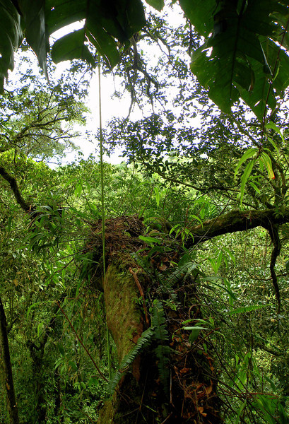 This is the lowest limb of a Sloanea tree, 14m (46ft). Looking at the array of other plants growing on the surface of this limb, it was easy to forget that I was standing 46ft up on a tree branch.
