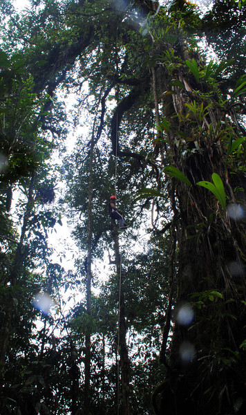The first climb of the largest known tree in Rara Avis, the Sloanea. The branch in the upper left is the tree's lowest, sitting at 14m (46ft). This tree can and has been climbed to well over 100ft!<br /> (notice the water drops on the lense- hey it's a rainforest)