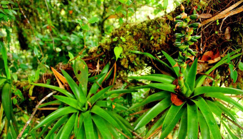 These bromeliads contribute to the overwhelming amount of plant life that grow on the limbs of canopy trees in the tropical rainforest.