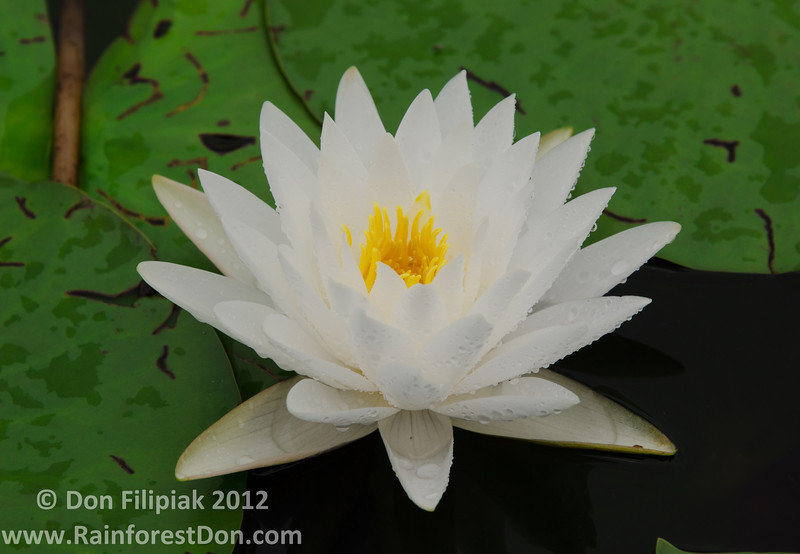 Water lilly from the Grassy Waters Nature Center<br /> Palm Beach, Florida