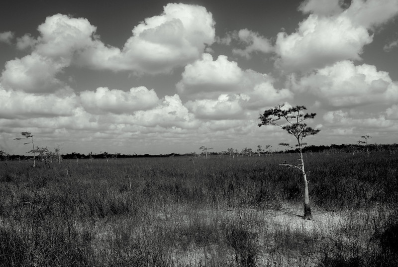 A dwarf cypress tree in the Florida Everglades