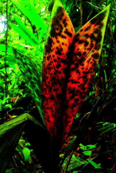 This is the endangered Stained-glass Window Palm (<i>Geonoma epetiolata</i>)