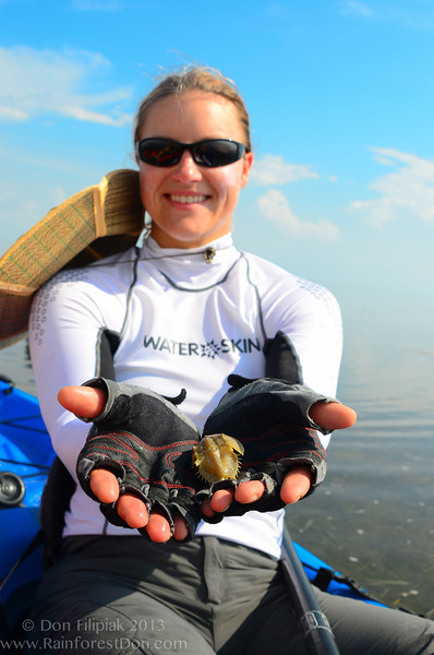 Juvenile horseshoe crab from Florida Bay