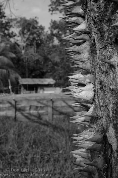 Pochote tree (<i>Bombacopsis quinata</i>)
