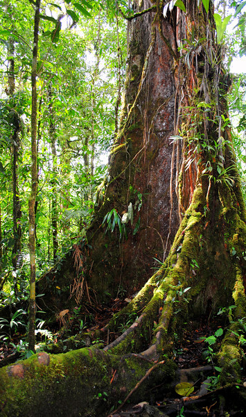 <i>Sloanea</i> tree in the Rara Avis Rainforest Reserve