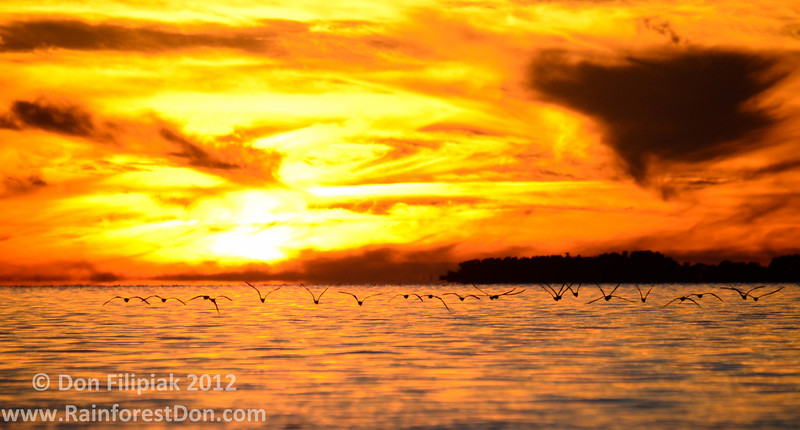 Black Skimmers (<i>Rynchops niger</i>) soaring low and fast over Florida Bay. Each night, like clockwork, they make this trip back from the feeding grounds to their nighttime roost.