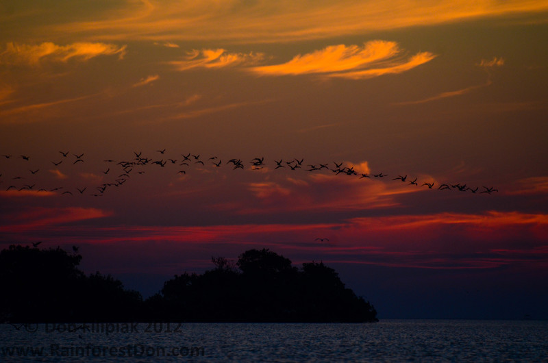 Black Skimmers (<i>Rynchops niger</i>) flying through the colorful evening twilight over Florida Bay