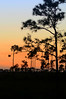 Sunset over pine rocklands in the Florida Everglades