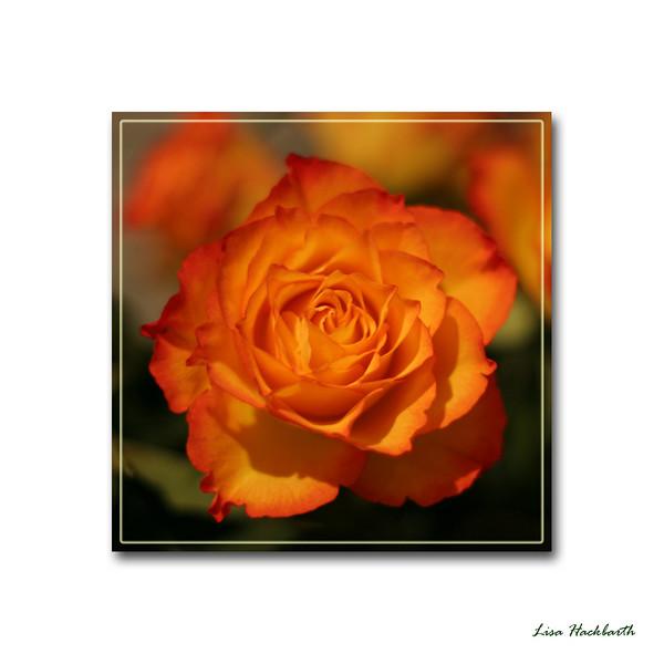 Faith's sunrise rose (25) square