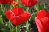 04 21 06 Tulips (48)