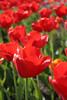 04 21 06 Tulips (41)