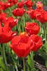 04 21 06 Tulips (39)