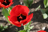 04 21 06 Tulips (32)