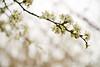 03 01 12 Spring flowers-1083