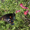 Pipevine Swallowtail Butterfly, Battus philenor