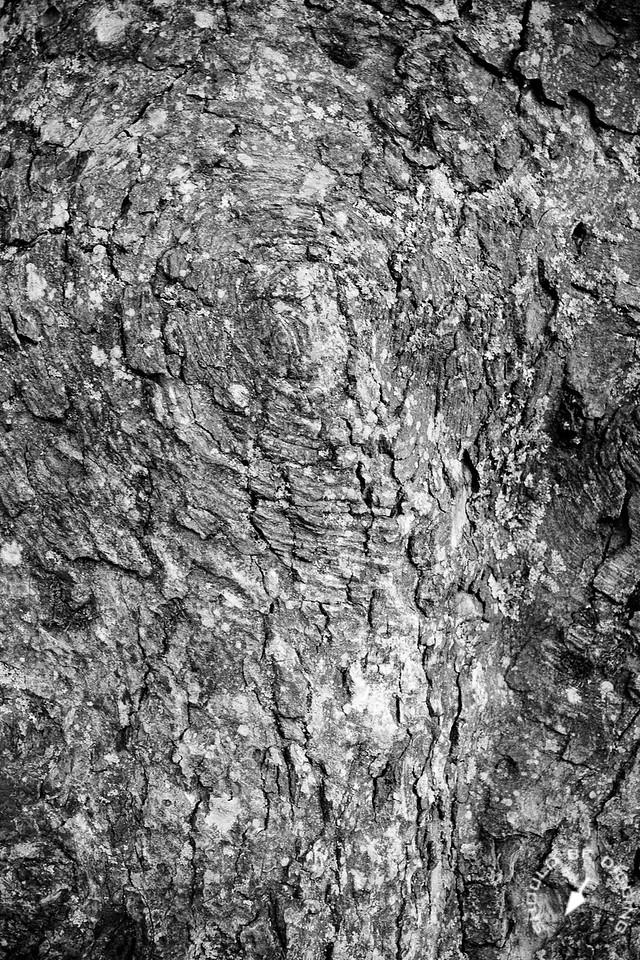 Sycamore Detail, Bark