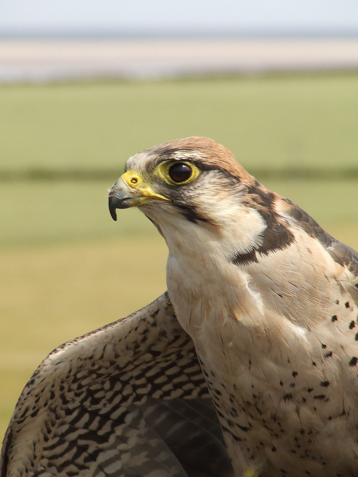 One of the falcons during the bird display
