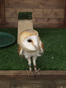 One of the barn owls at the Barn At Beale