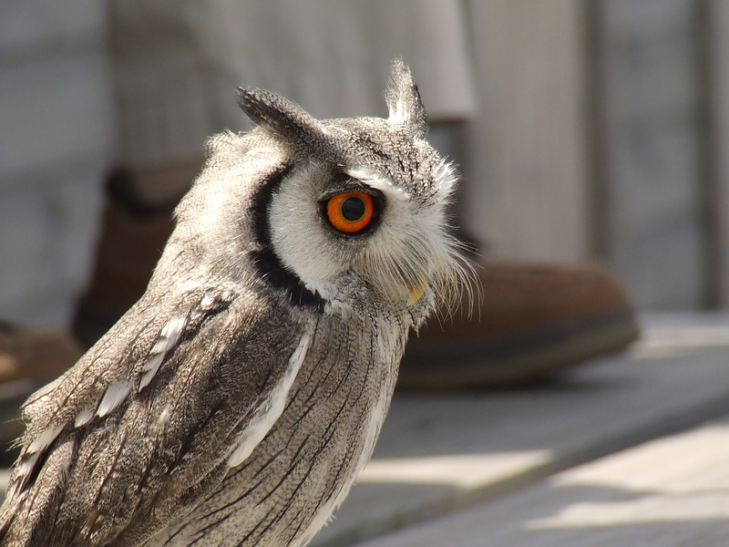 One of the small owls during the bird display
