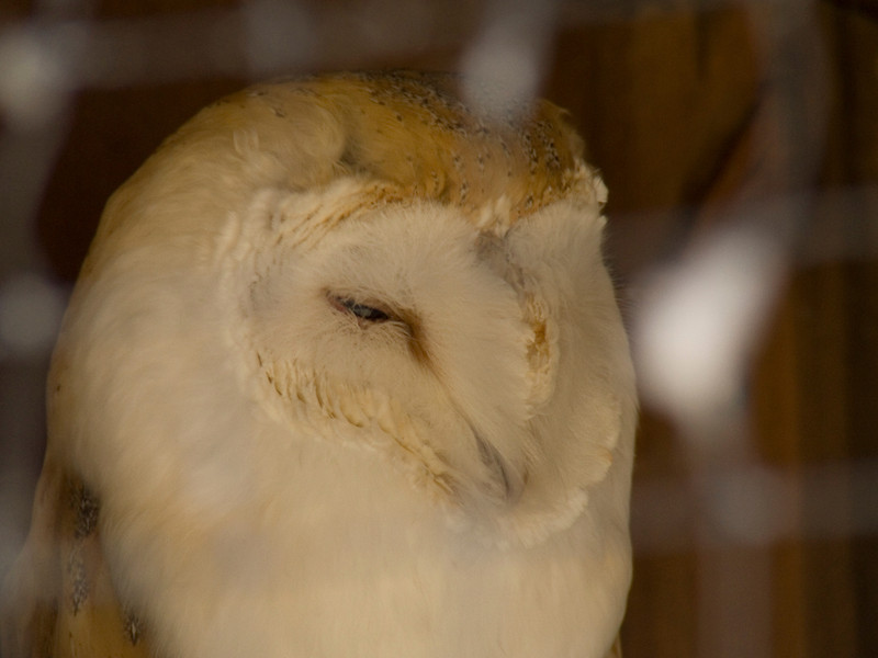 Barn owl in it's cage