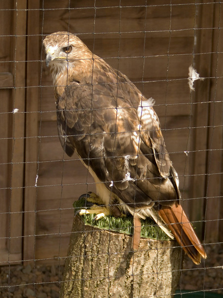 One of the eagles at the Barn at Beale