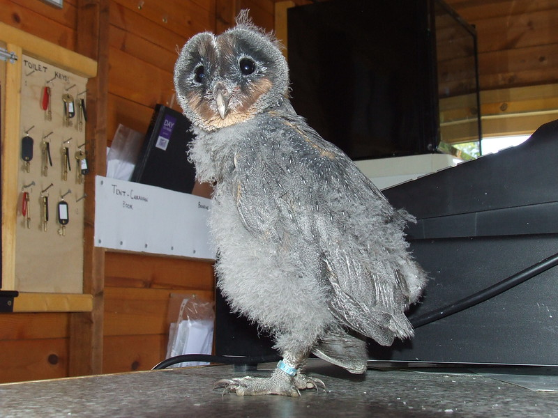 Neville, a baby Snowy Owl that was rescued by the Barn At Beale. Neville is an albino Snowy Owl and was abandoned by his mother because he was different