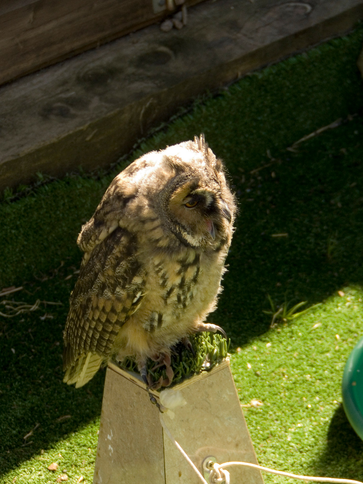 One of the Barn at Beale's small owls, very chatty and called Toby