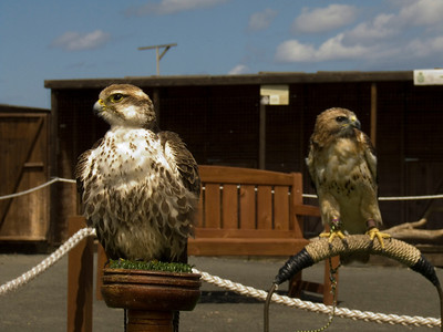 Two of the Barn at Beale's large falcons