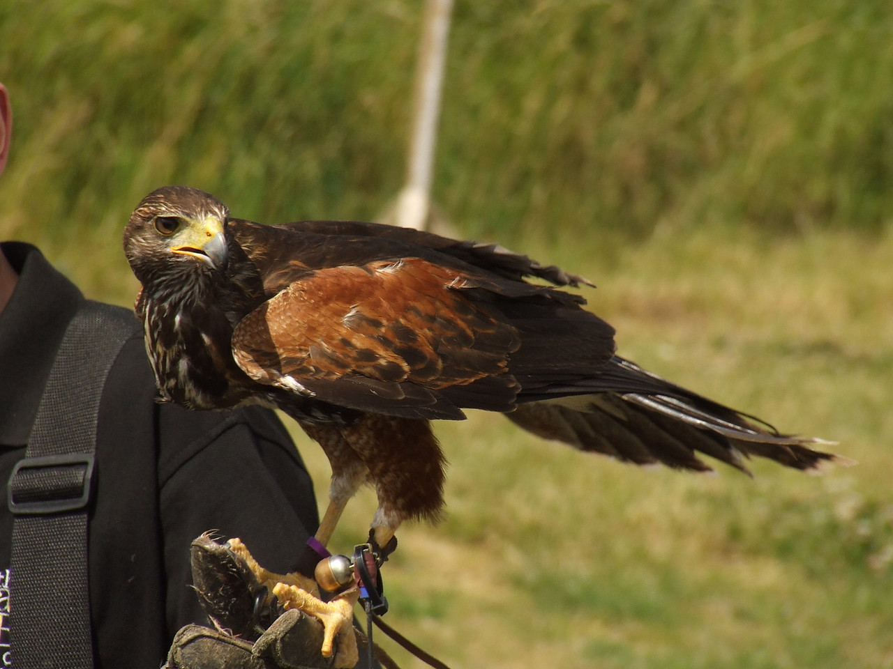 One of the Hawks during the bird display