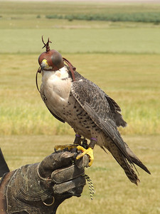 One of the falcons during the bird display. It has it's mask on so that it can be calmed down