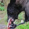Black bear fishing at Anan Creek