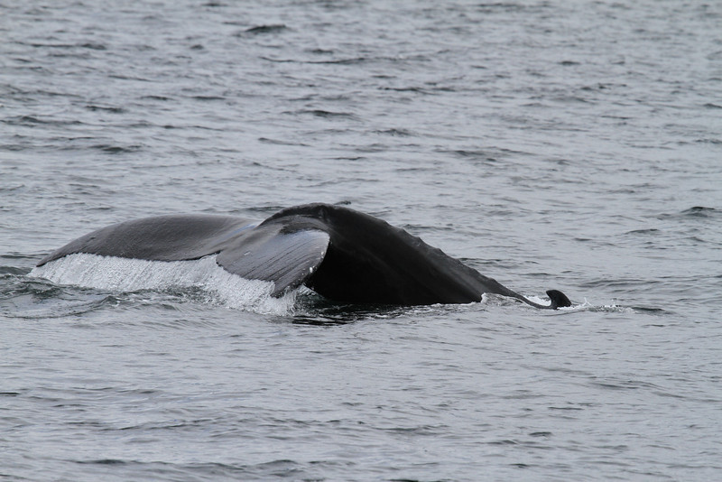 Humpback Whale in Skincuttle Inlet