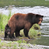 Brown (Grizzly) bear and cub at Pack Creek