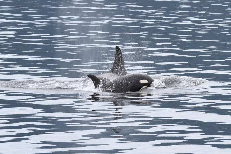 Orca near The Brothers