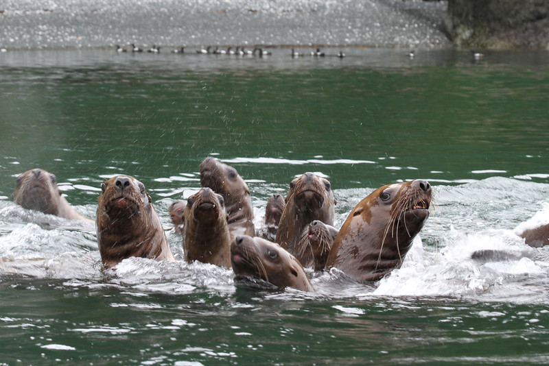 Steller sea lions near The Brothers