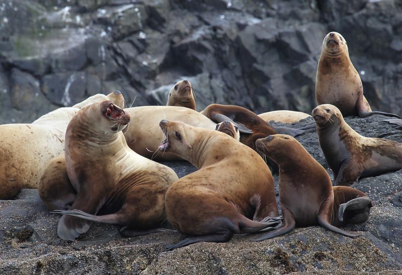 Steller sea lion colony on Joyce Rocks