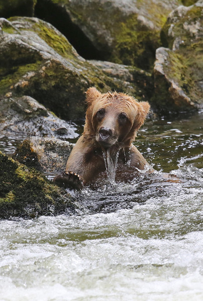 Brown (Grizzly) bear cub learning to fish
