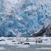 Hundreds of seals on ice floes near the LeConte glacier
