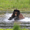 Brown (Grizzly) bear fishing at Pack Creek